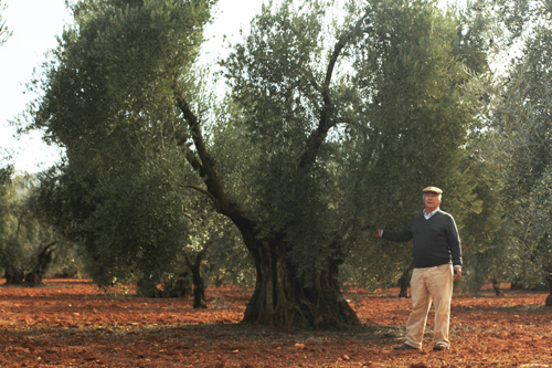 con los olivos centenarios